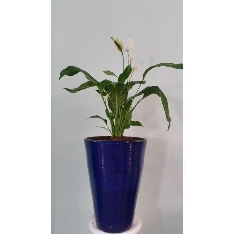 plante spathiphilum livraison gratuite des bouquets de fleurs au maroc. Black Bedroom Furniture Sets. Home Design Ideas