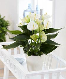 anthurium blanche