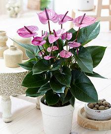 Anthurium Rose exflora.ma