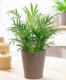 Plante Kentia By Exflora.ma